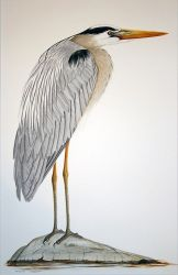 great blue heron 2014 deborah macdonald 10 1000 1000 80